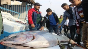80 Kilo Ağırlığındaki 4 Ton Balığı İlgi Odağı Oldu