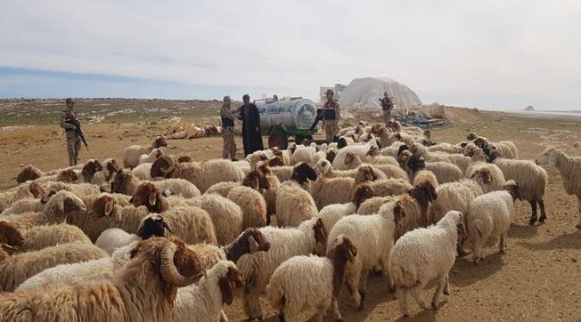 Harran'da 75 Küçükbaş Hayvan Çalındı 2 Tutuklama