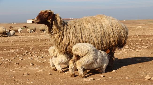 TİGEM'de İvesi Koyun Sayısı 100 Bini Buldu
