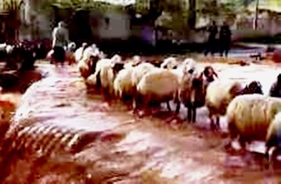 Koyun sürüsü sele kapılmaktan son anda kurtuldu