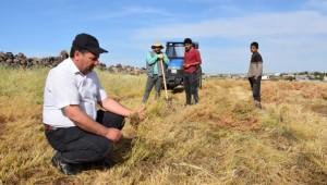 Şanlıurfa'da mercimek hasadı başladı