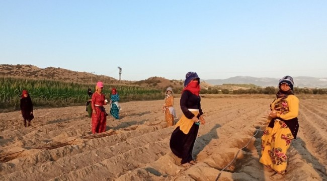 Mevsimlik tarım işçilerinin zorlu mesaisi (video)