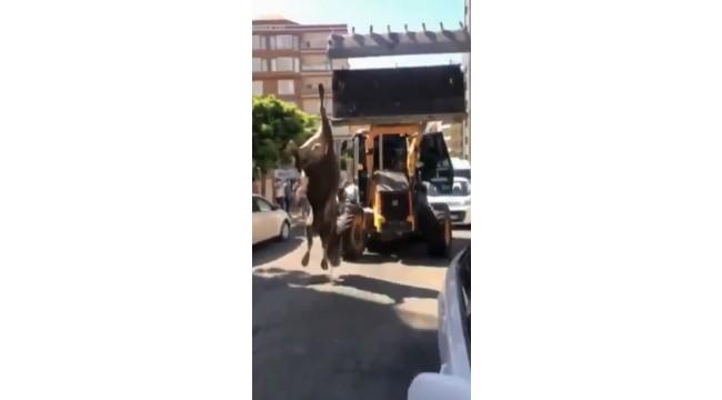 Danayı iple ayağından iş makinesine bağlayıp götürdüler (video)