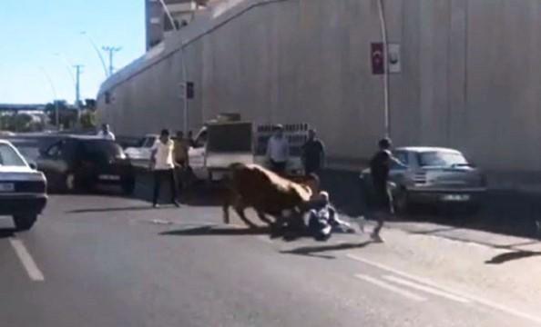 Kaçan boğa sahibini yol ortasında yere serdi (Video)