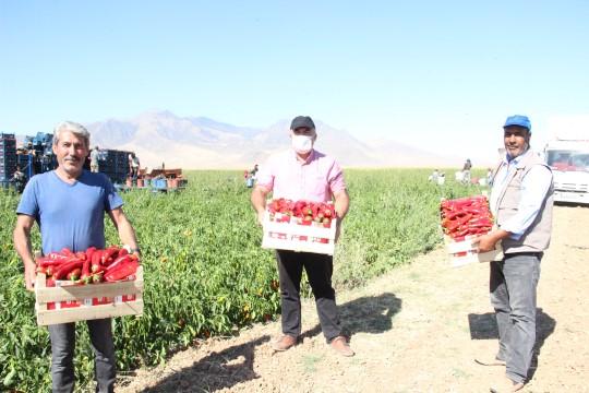 Şanlıurfalı biber işçileri hasat için Karaman'a gitti (Video)