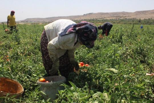Kurban Bayramı öncesi domates üreticisi talebe yetişemiyor ( Video Haber )