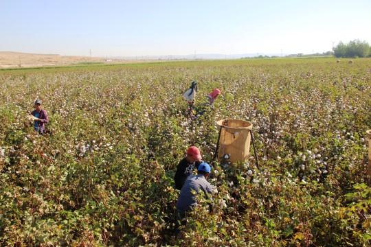 Şanlıurfa'da beyaz altın hasadı başladı ( Video Haber )