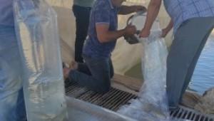 Siirt'te 2 milyon 70 bin pullu sazan yavrusu suyla buluştu