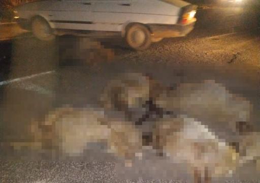 Şanlıurfa'da hafif ticari aracın çarptığı 10 koyun telef oldu